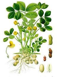 plante-cacahuete